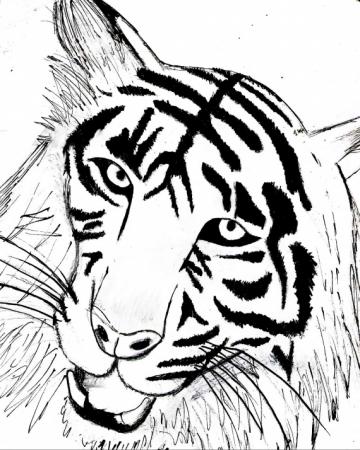 tigre_dessin.jpg
