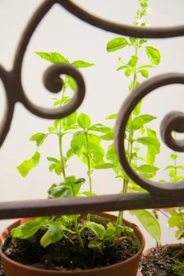 basilic+fenêtre.jpg